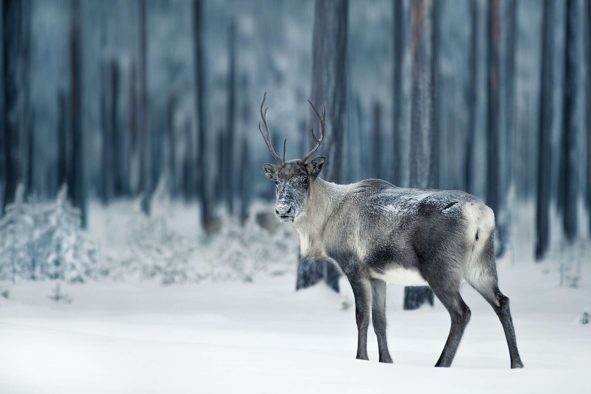 caribour deer in winter